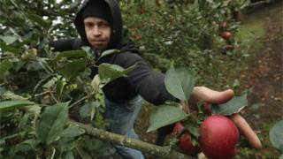 Українські працівники збирають врожаї не лише в Україні. На фото - сезонний працівник з України на збиранні яблук у Німеччині