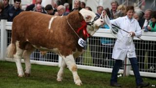 A Simental bull during judging at the 175th Royal Highland Show at Ingleston
