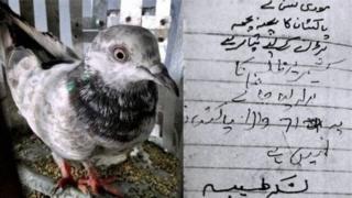 Pomba capturada com mensagem