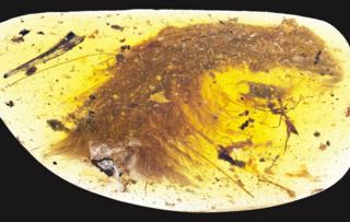 ミャンマー北東部で発見された琥珀