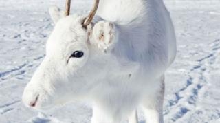 在雪地的純白色馴鹿