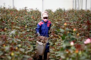 in_pictures A worker walks through rows of roses in a greenhouse while wearing protective equipment