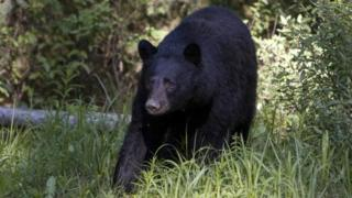 A female black bear is seen near the Bow River Parkway in this 2009 photo in Banff Springs, Canada.