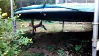 Fox stuck in a trampoline