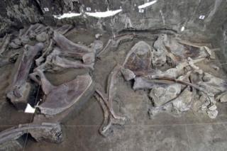 A collection of mammoth bones on the floor of the excavation site