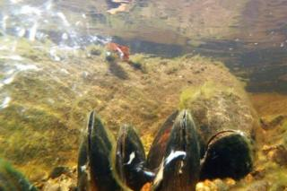 Adult pearl mussels releasing their young