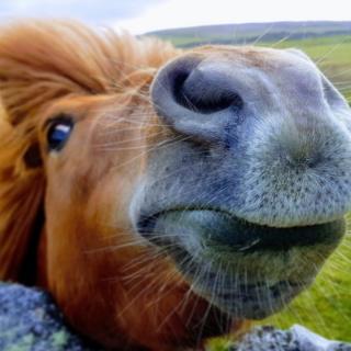 A close up of a Shetland Pony