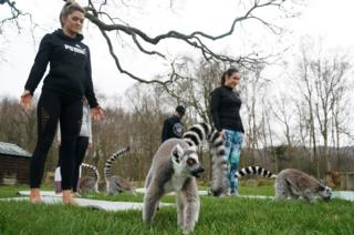 Lemurs sit alongside people in a yoga class at the Lake District Wildlife Park