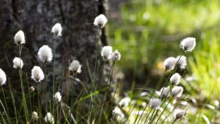in_pictures Cottongrass