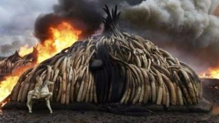 Kenya hủy 105 tấn ngà voi vào tháng Tư để đối phó nạn buôn lậu