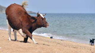 A cow on a beach in Crimea