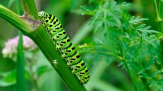Swallowtail caterpillar on milk parsley
