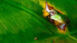 A bright green frog with big eyes peaks out through a hole in some leaves