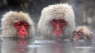 Three macaques bathing with their faces partly submerged underwater.
