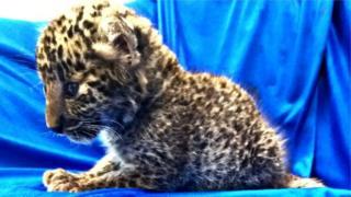 چیتے کا بچہ