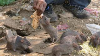 Man dey feed rat