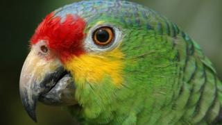 Brazil police arrest parrot wey give drug dealers signal.