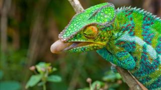 The chameleon feeds by snapping out its long tongue