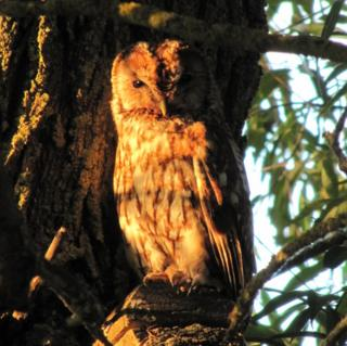 A tawny owl at sunset by the watercress beds in Ewelme