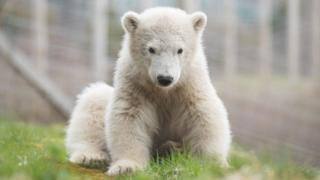 Polar bear cub Hamish