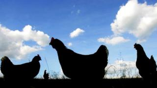 Silhouettes of three chickens in a field