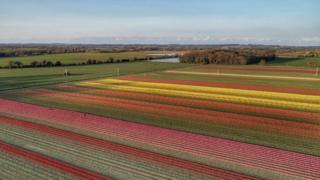 Tulip field at sunset in west Norfolk