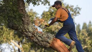 Cork being removed from a cork oak tree in southern Portugal