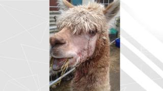 Injured alpaca