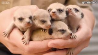 사랑스러운 아기 미어캣들