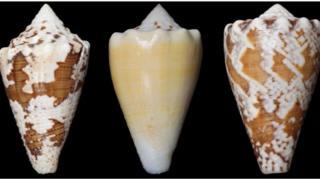 หอยเต้าปูนใช้พิษในการล่าเหยื่อ ซึ่งสารประกอบในพิษบางอย่างใช้รักษาอาการปวดเรื้อรังได้