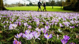 Crocuses in full bloom at the Royal Victoria Park in Bath on Friday