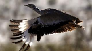 طائر الحباري