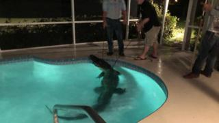 An alligator is dragged from a Florida pool