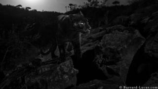 A male melanistic leopard captured on camera in Africa, for what's thought to be the first time in a century
