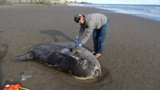 A hoodwinker sunfish washed up in California