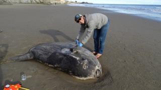 A hoodwinker sunfish washed up in California