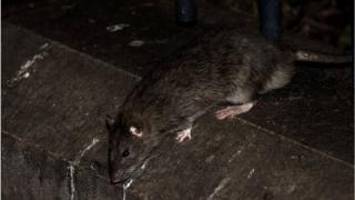 A rat in Paris