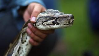 L'homme est monté sur un banc de passager pour atteindre le porte-bagages, attraper le serpent par la queue et le frapper violemment au sol.