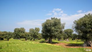 Оливковые деревья в Испании