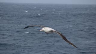 A large white albatross in the foreground, wings spread and flying over the blue water.