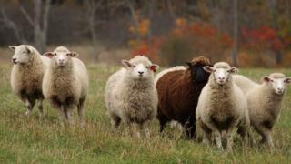 A flock of sheep run across a field as leaves show their fall colours in background, 19 October 2007