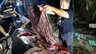 El biólogo Darrell Blatchley extrae del cuerpo de la ballena lo parece ser un saco de arroz.