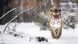 """A Siberian tiger enjoys the snow at the Yorkshire Wildlife Park in Doncaster, South Yorkshire, as heavy snow and sub-zero conditions have blighted Britain""""s roads, railways and airports, with delays and cancellations."""