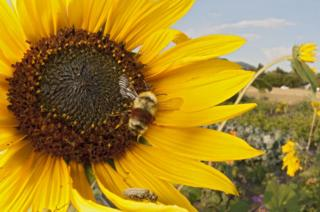 A large yellow sunflower with a bee in the centre