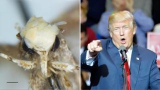 Donald Trump, right, and his namesake, the moth Neopalpa donaldtrumpi, left