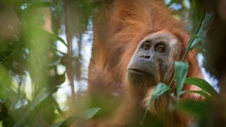 A photo of Pongo tapanuliensis, identified as a new species of orangutan, found on the Indonesian island of Sumatra where a small population inhabit its Batag Toru forest, 2 November 2017.