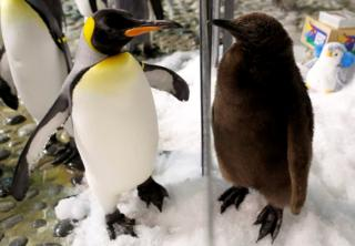 Maru, a two-month-old king penguin chick, looks at an adult penguin.