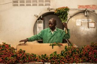 A man packages hypericum flowers at Wildfire Flowers on 12 February 2019 in Naivasha, Kenya.