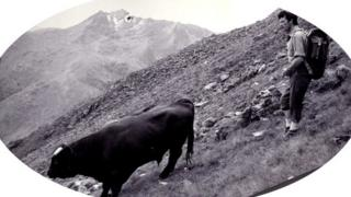 When a raging bull climbed a Scottish mountain