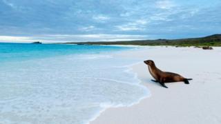 加拉帕戈斯海獅